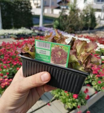 Schnitt-Salat Lollo Rosso...