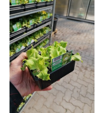 Salat Grazer Krauthäuptl