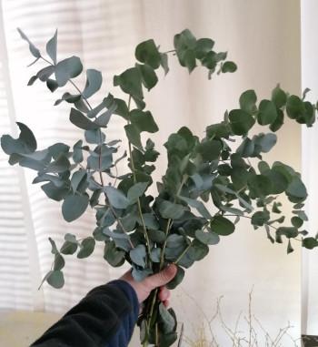 Eukalyptus Bund
