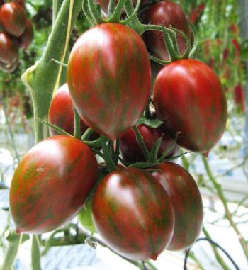 Dattel Tomate gestreift